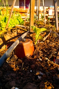Olla pot on gem squash.  The roots will wrap themselves around the pot
